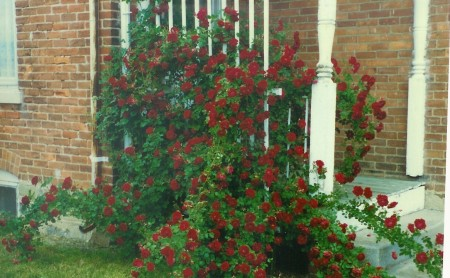 Climbing Rose at Farm 2